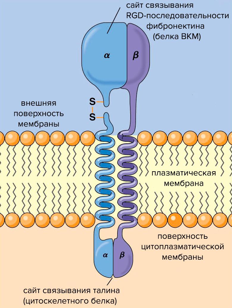 Схема строения молекулы интегрина