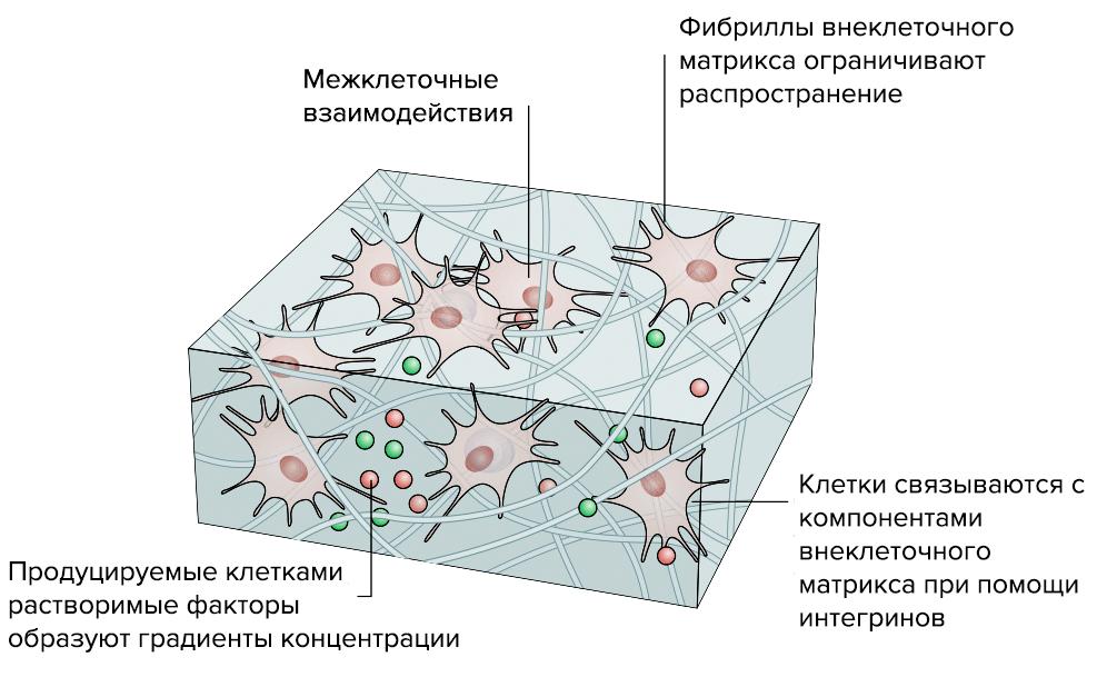 3D-модель соединительной ткани
