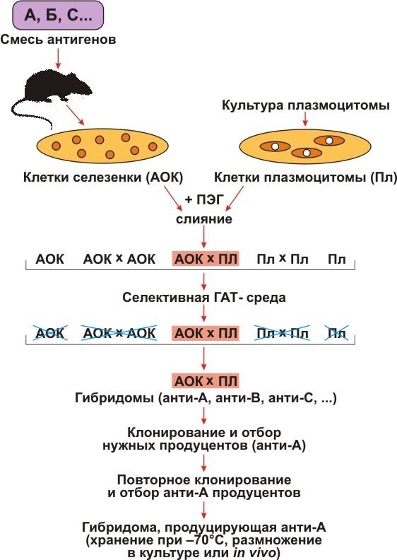Схема получения гибридом.