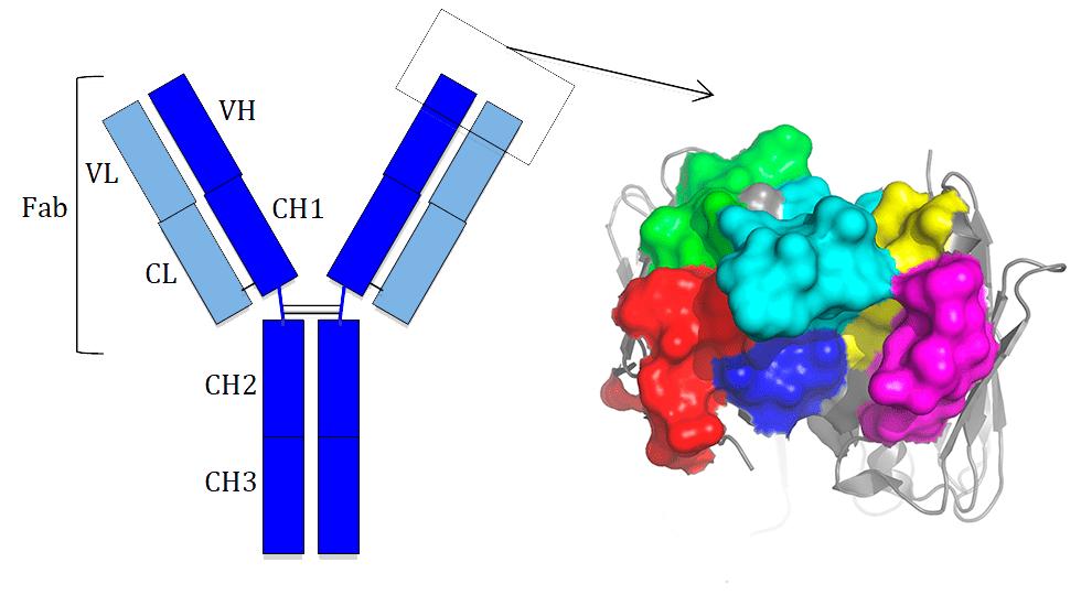 Строение антител