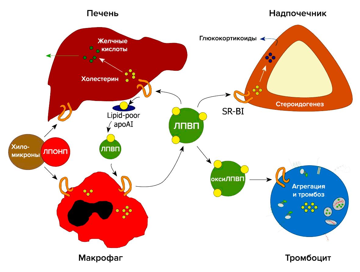 Способ доставки холестерина к клеткам