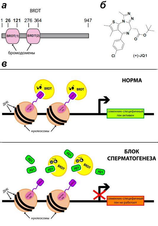 Тиенозепиновый ингибитор JQ1