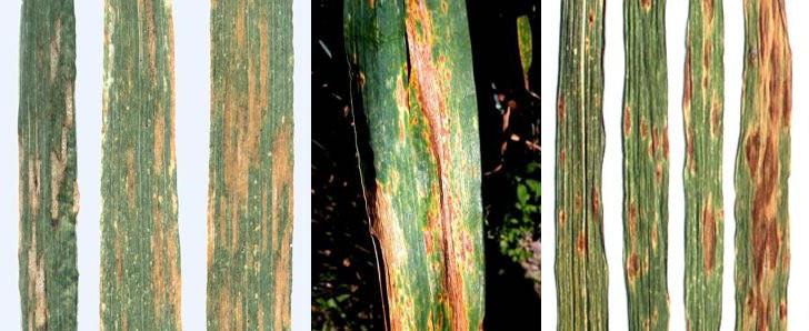 Листовые пятнистости пшеницы