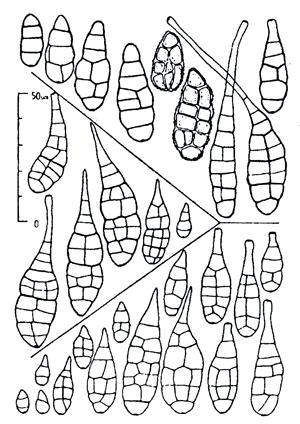 Сравнение конидий типовых образцов