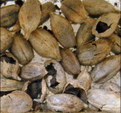 Зерновки, поражённые твёрдой головнёй пшеницы