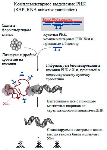 картинка биотин