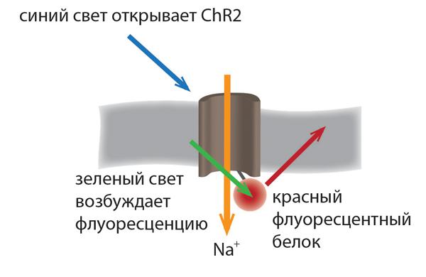 http://biomolecula.ru/img/content/1566/01.optogeneticheskij-metod.png
