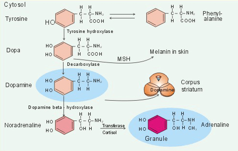 Синтез дофамина