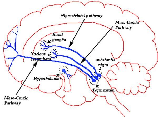 Дофаминовые пути