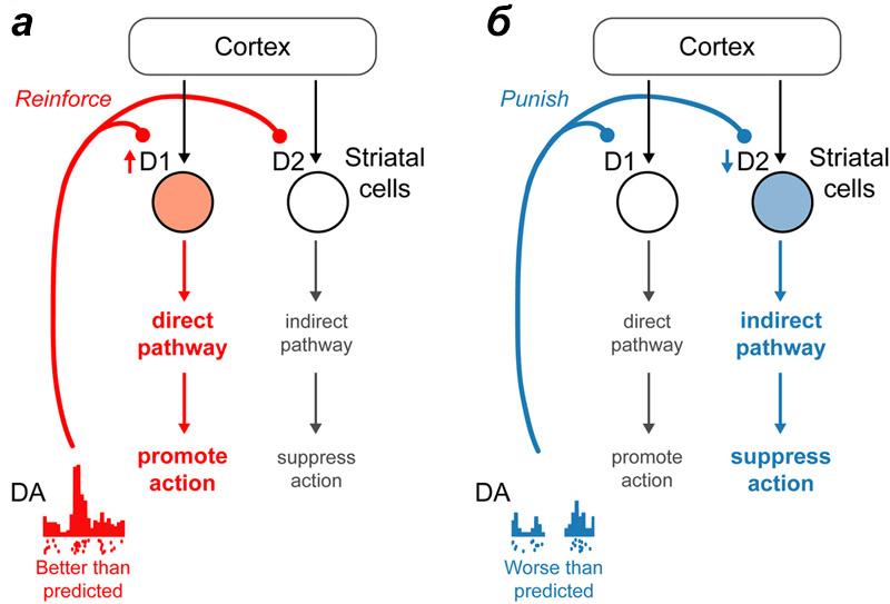 Вовлечение разных дофаминовых путей при обучении
