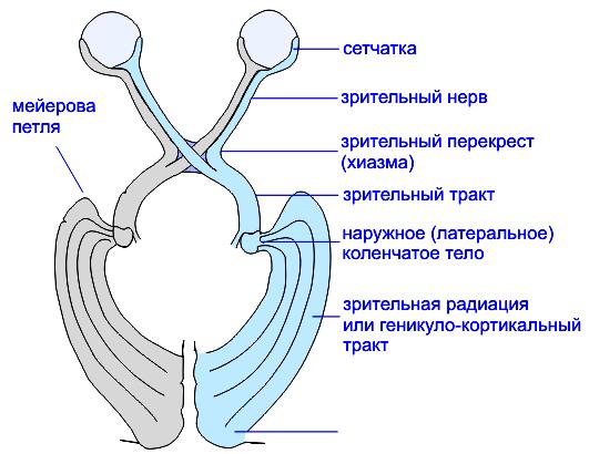 Схема зрительных путей.