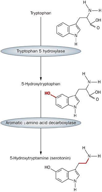 Две стадии синтеза серотонина