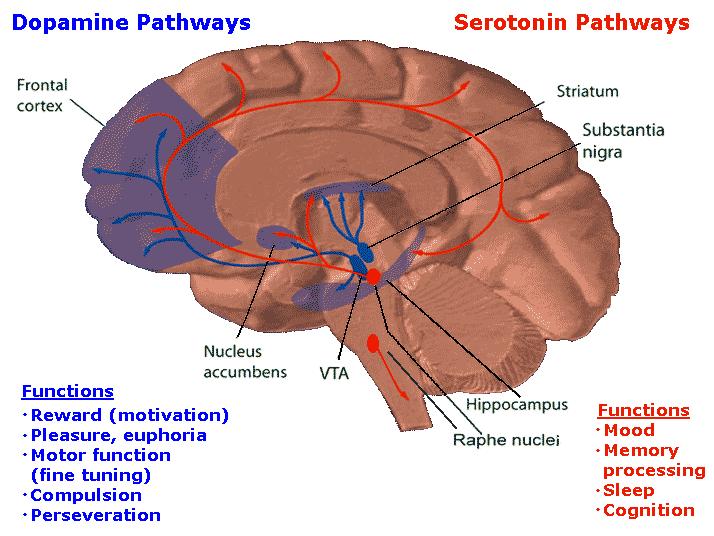 Серотониновые идофаминовые пути
