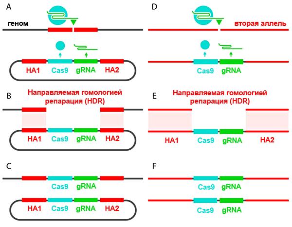 «Саморазмножение» кассеты CRISPR/Cas9