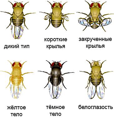 Варианты фенотипов мух