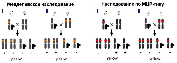 Схема распределения аллелей
