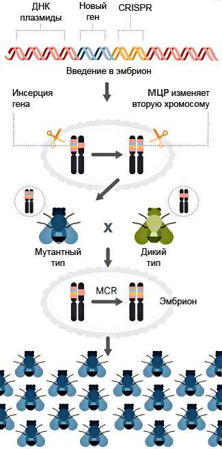 Принципиальная схема метода мутагенной цепной реакции