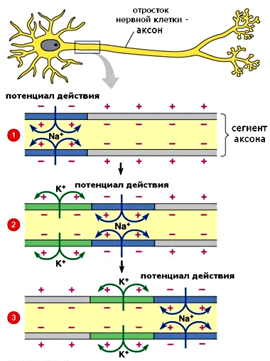 action potential propagation The basic unit of nerve transmission is the action potential an action potential is a brief electrical signal that travels along an axon at great speed the action potential is a rapid change in the relative ion concentrations on either side of the cellular membrane and a rapid return to the original concentrations.