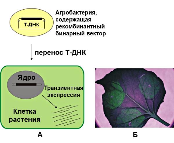 Транзиентная экспрессия чужеродных генов