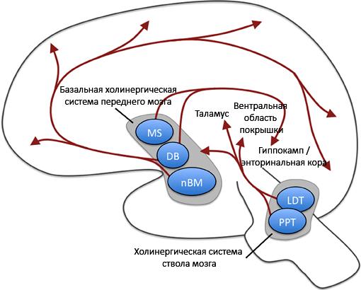 Ацетилхолиновая система мозга