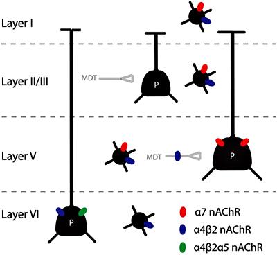 Многообразие ацетилхолиновых рецепторов