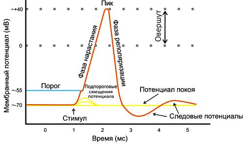 Схема возникновения потенциала