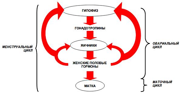 Нарушает ли секс менструальный цикл