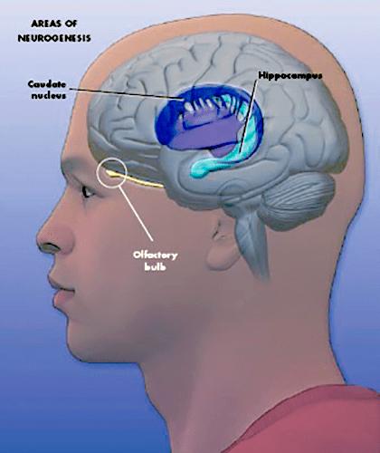 Зоны нейрогенеза в мозге человека
