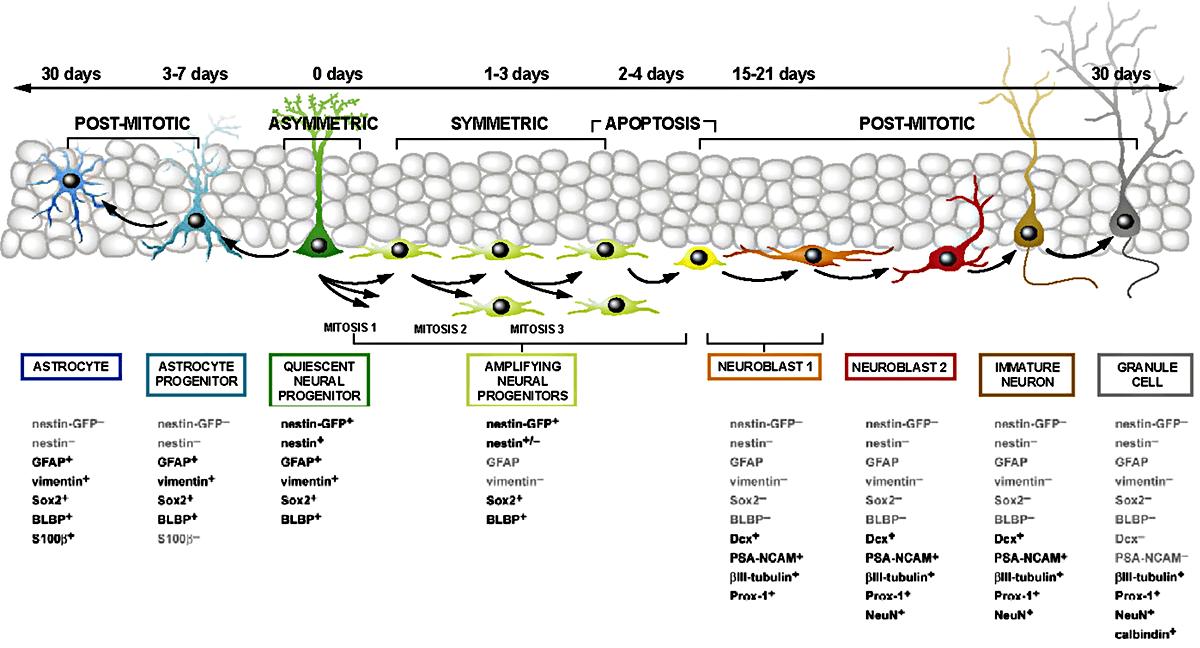 Схема дифференцировки нервных