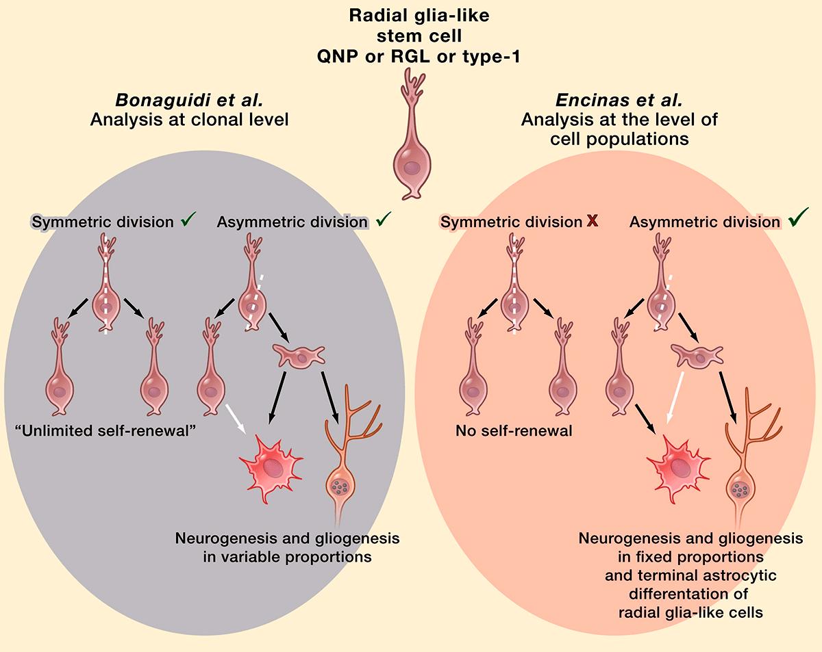 Модели деления стволовых клеток