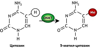 Метилирование цитозинового основания ДНК