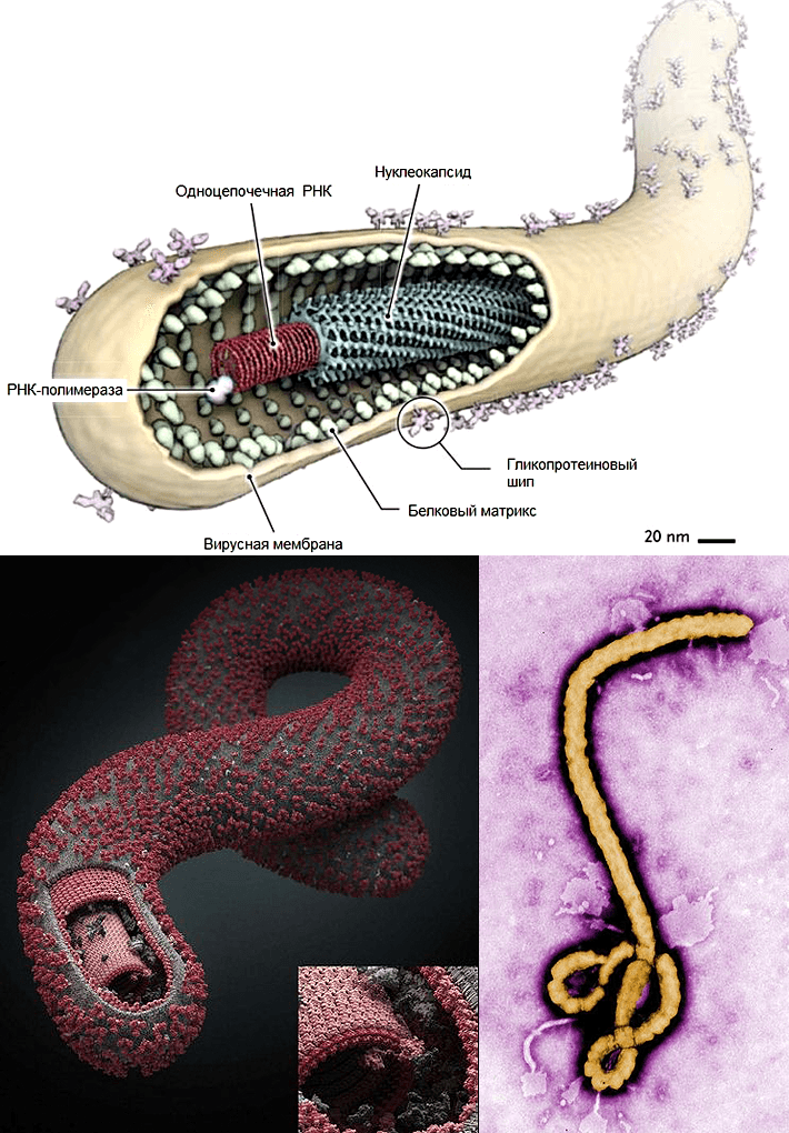 a description of the ebola virus a member of a family of rna viruses known as filoviruses The ebola virus is a member a family of rna viruses known as filoviruses ebola is a negative stranded rna virus the virus partial has the shape of a long stand with loops on the end, like worms there are variations on.