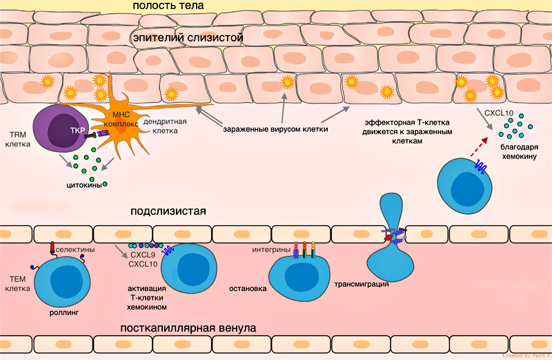 Эмиграция эффекторной Т-клетки