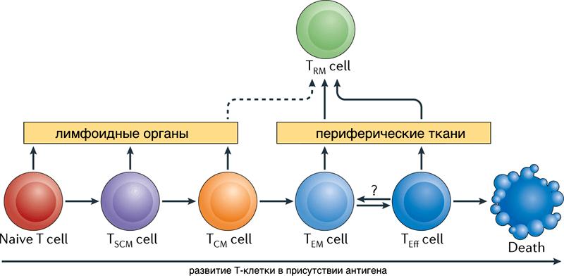 Переход потомков активированных Т-лимфоцитов между популяциями