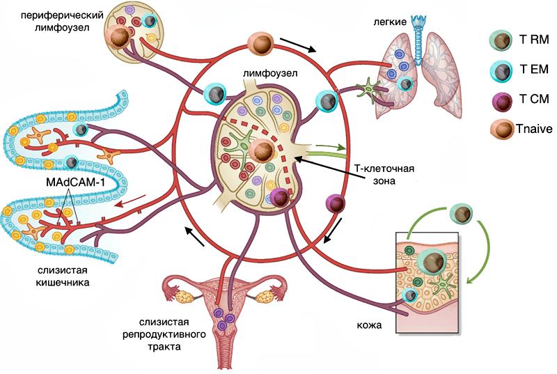 Пути циркуляции Т-лимфоцитов