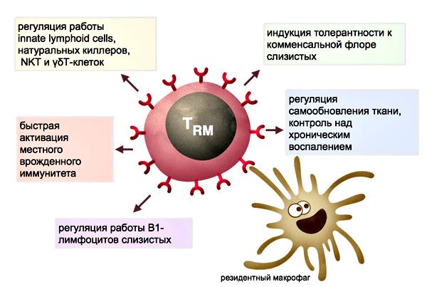 Функции резидентных Т-лимфоцитов тканей