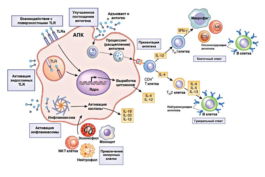 иммунный ответ при ВИЧ