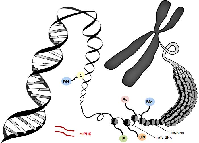 Структура хроматина