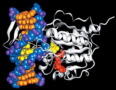 ДНК-метилтрансфераза и ДНК