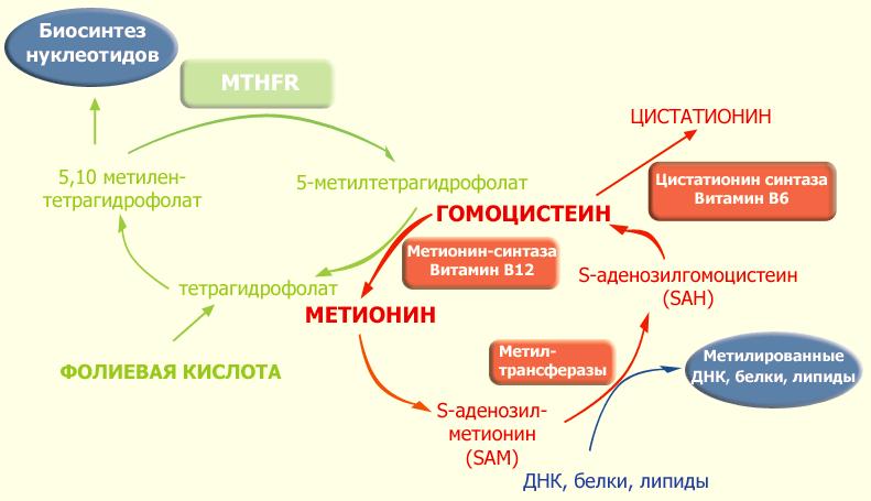 Схема фолатного цикла