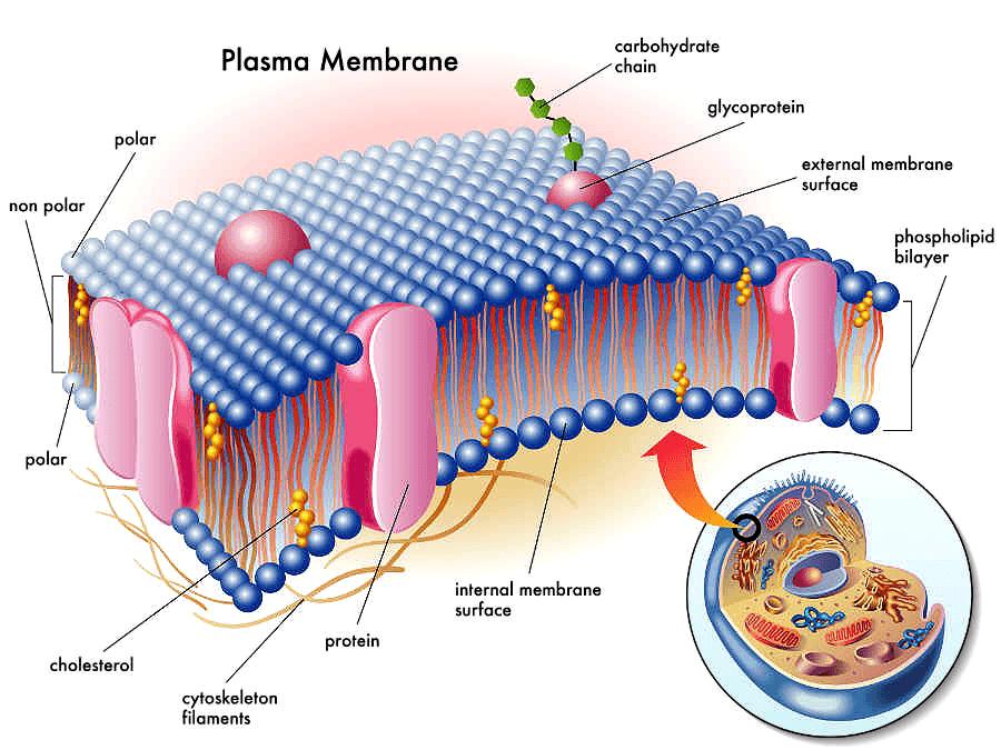an analysis of the cytoplasmic matrix as an unstructured liquid gel
