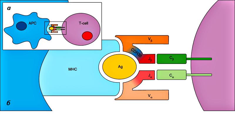 TCR и антиген-презентирующая клетка