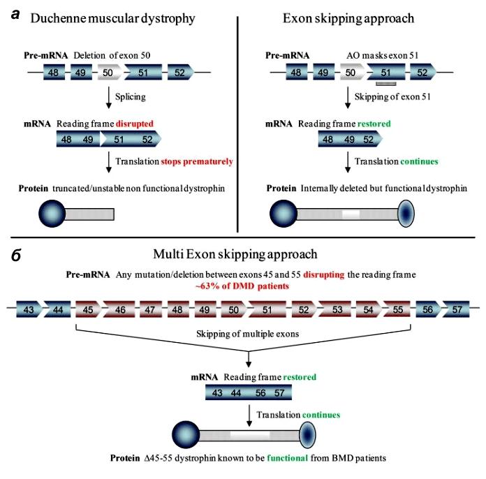 Пропуск экзонов в гене дистрофина