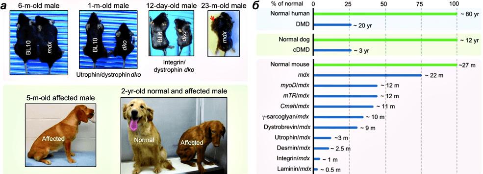 Животные модели миодистрофии Дюшенна