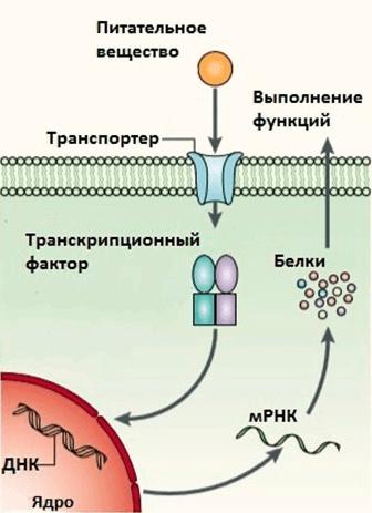 Действие нутриентов на экспрессию генов