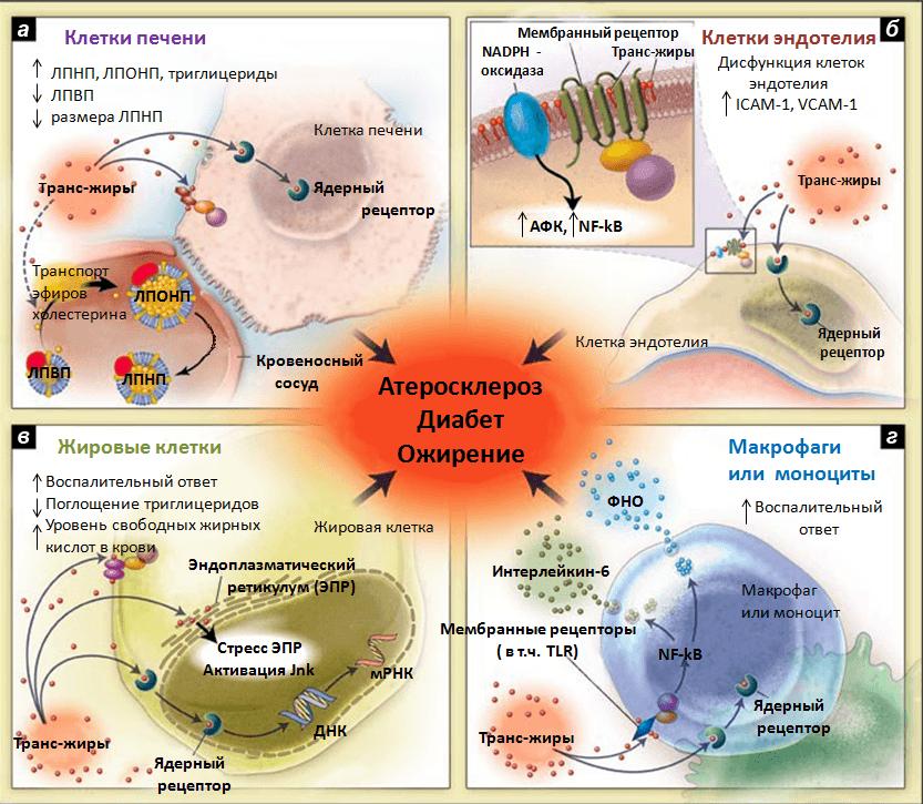 Механизмы действия транс-жиров