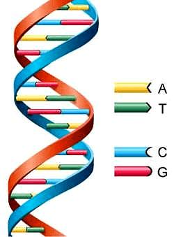 Схематичная структура ДНК