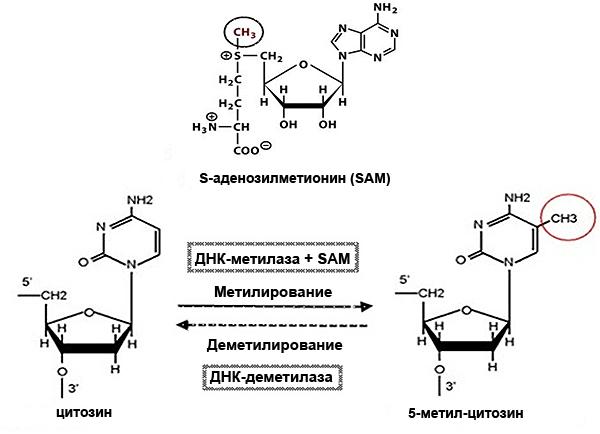 Модификация цитозина
