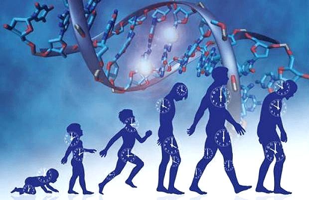 Эпигенетика отсчитывает часы жизни