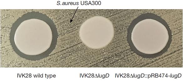 Антибактериальная активность S. lugdunensis